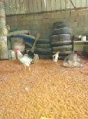 دجاج وديك  فرنسي بيور