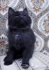 قطه شيرازي امريكي صغيره