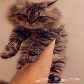 قطط بسعر حلو