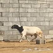 خروف نظيف - محافظة ضمد