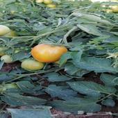 طماطم نظيفه جدا ومن انتاج العلا