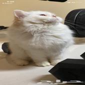 قط شيرازي اليف ولعوب مع اغراضه