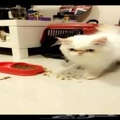 قط هملايا بيكي فيس اورانج للتزاوج