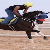 حصان انقليزي حي بالركوب سكاكا الجوف