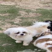 كلاب شيزو