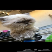 قطط ذكر هملايه