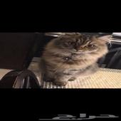 احد يعرف ايش نوع هذه القطه