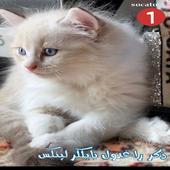 قطط كيتنز راغدول بيور لعوب وحنون Pure Ragdoll