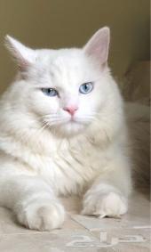 قط شيرازي ابيض عيون زرقاء 350