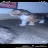 قطتين من اب بيبي فيس وام شيرازي العمر شهر