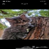 قطط (كتن)مستوى عالي هملايا و شيرازي