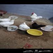 دجاج براهما ابيض صك