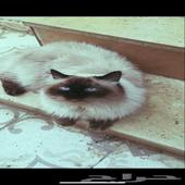 قط مفقود في طايف حي الحلقه الغربيه