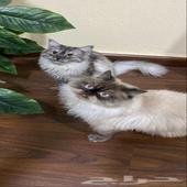 قطط للبيع شيرازية - هملايا