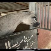 حصان واهو مصري بولش البيع شعبي