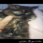 قطة. انثى. شهرين. بي 450