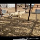 خروفين للبيع