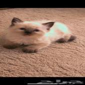 قطط شيرازي وهملايا