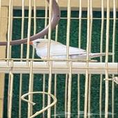 طير زيبرا ( ذكر )