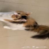 قطة بكي فيس شيرازي بسة