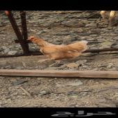 ديك و اربع دجاجات