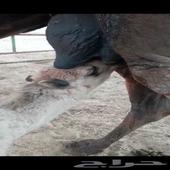 خلفه مجهم تحلب بالحبل وحليب وافر معها قعود السن سدس