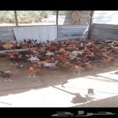 دجاج بشاير  العمر ثلاثة شهور ونص