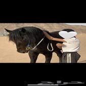 حصان ادهم كحل ملكي ياعشاق الملكي