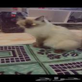 قطة نوع هملايا للبيع و تخلف