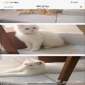 قطط بيع.