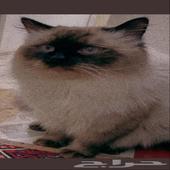 قط مفقود في حي الحلقه الغربيه طايف