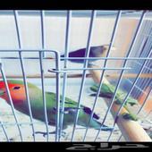 بسم الله افتح مزاد بيع طيور روز الصحه ممتازه العمر 8اشهر