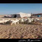 بهم حري خروف صافي الدوادمي تم البيع خارج الموقع