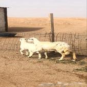 نعجه والد معها خروف