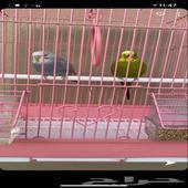 عصافير للبيع باقل سعر( تم البيع)