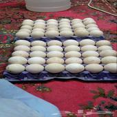 بيض رومي مخصب