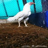 دجاجة سندي بيور