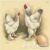 بيض براهما مخصب بأفضل الاسعار