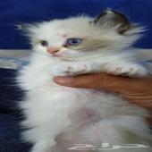 قطط - السلام عليكم ورحمة