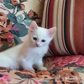 قطط كيتين شيرازي