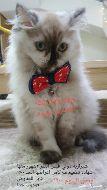 قطة شيرازية موني فيس