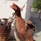 دجاج مكس بلجيكي باكستاني وفيه كم حبه باكستاني