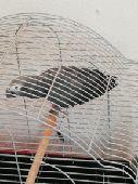 بغبغاء كاسكو للبيع Casco Parrot for sale