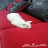 قطه للبيع لعوبه تحب تلعب