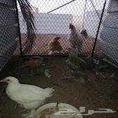 دجاج برهاما للبيع