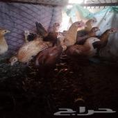فروخ دجاج وادي الفرع