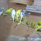 مجموعة بادجي