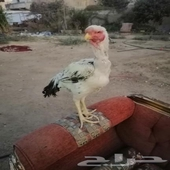 فارسي ديق و دجاج ذوج