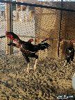دجاج بكستاني سندي
