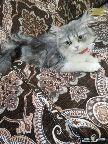 5 قطط شيرازي للتبني